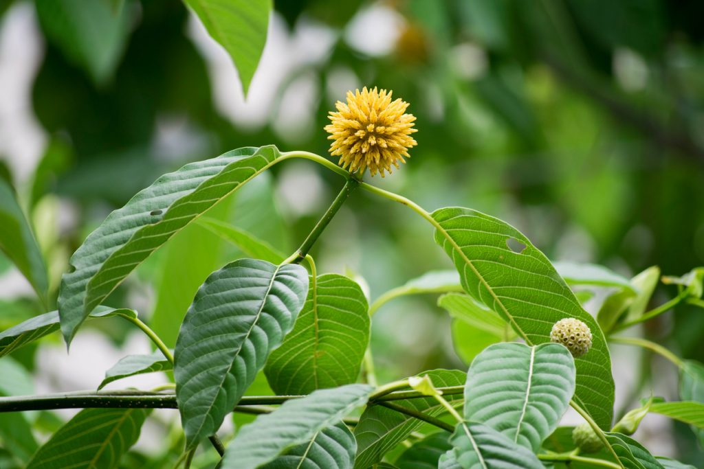 Various Advantages of Consuming Kratom